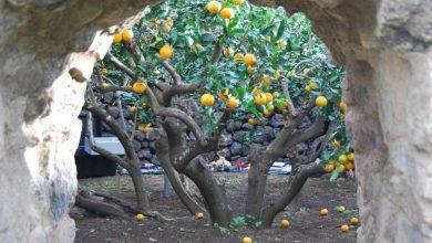 Photo of Kőfallal védett citruskertek egy apró olasz szigeten
