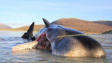 Photo of 100 kilogramm szemetet találtak egy skót szigetnél partra sodródott bálna tetemében