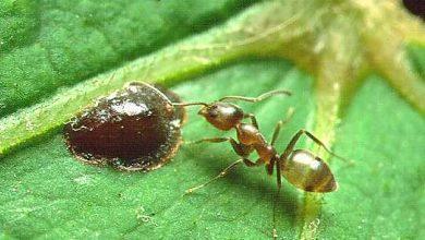 Photo of Alpesi hangyák adhatnak magyarázatot a szuperkolóniák rejtélyes jelenségére