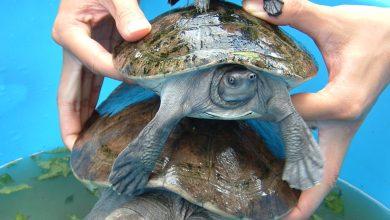 Photo of Csaknem kihalt teknősfaj fészkeit fedezték fel Kambodzsában