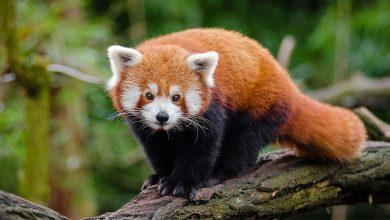Photo of Bebizonyították, hogy valójában két külön fajba tartoznak a vörös pandák