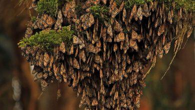 Photo of A kihalási küszöb alá csökkent a Mexikóban telelő pompás királylepkék populációja