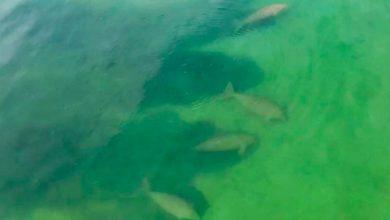 Photo of Ritka látvány: dugongcsorda jelent meg a thaiföldi vizekben