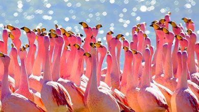 Photo of Összetett társadalomban élnek a flamingók