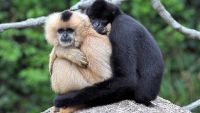 Photo of Új pár felfedezése jelent reményt a világ legritkább főemlősének fennmaradására