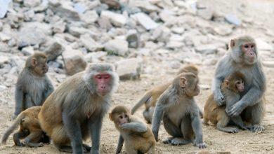 Photo of Megnyugtatja a fajtársakkal való együttműködés a makákókat
