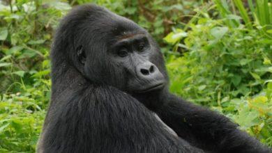 Photo of Megölték Rafikit, az egyik legismertebb ugandai hegyi gorillát