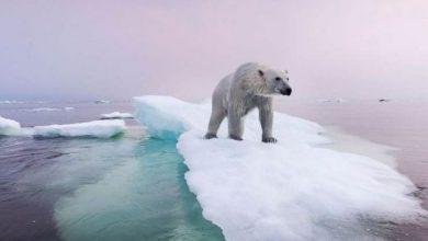 Photo of A század végére kihalhatnak a jegesmedvék