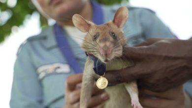 Photo of Hősiességéért aranymedállal tüntettek ki egy bombakereső óriáspatkányt