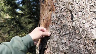 Photo of Kéregbogarak fenyegetik a német erdőket