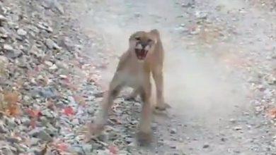 Photo of Hat percen át követett fenyegetően egy puma egy halálra rémült túrázót