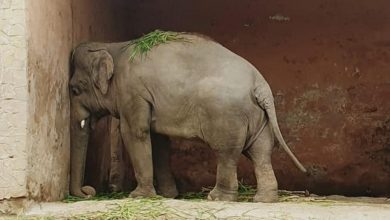 Photo of Repülővel indult új otthonába a világ legmagányosabb elefántja (videó)