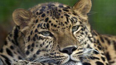 Photo of Jelentősen megnövekedett az észak-kínai leopárdok populációja