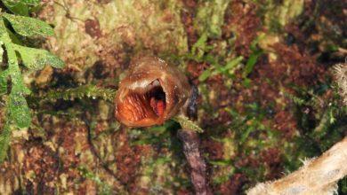 Photo of Felfedezték a világ legcsúnyább orchideáját