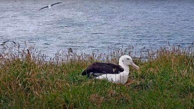Photo of Élőben lehet követheti egy frissen kikelt albatroszfióka életét
