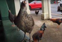 Photo of Több ezer csirke él szabadon egy Hawaii szigeten