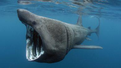 Photo of Gigantikus méretű cápatetem sodródott partra