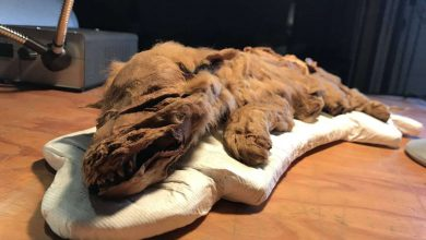 Photo of Csaknem 60 ezer éve jégbe fagyott farkaskölyköt vizsgálnak kutatók