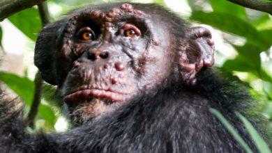 Photo of Leprás csimpánzokat találtak az afrikai dzsungelben