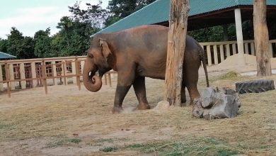 Photo of Élvezi új életét Kaavan, a már nem is magányos elefánt (videó)