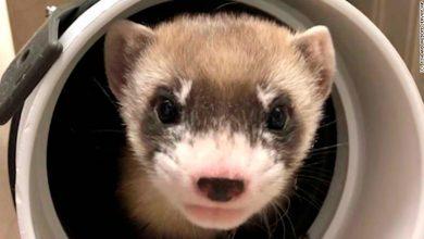 Photo of Először klónoztak egy veszélyeztetett görényfajt az Egyesült Államokban