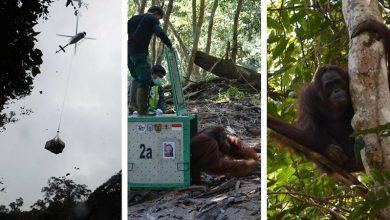 Photo of Mentett orángutánokat engedtek szabadon Indonéziában