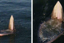 Photo of Különleges drónvideó egy trópusi bálna eddig ismeretlen táplálkozási módszeréről