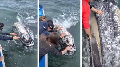Photo of Még a kezét is bele merte tenni egy turista egy barátkozó bálna szájába- videó