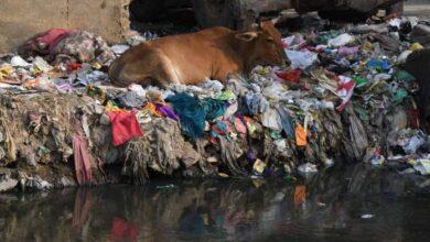 Photo of 71 kiló szemetet találtak egy tehén gyomrában Indiában