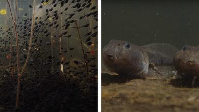 Photo of Lenyűgöző rövidfilm készült az ebihalak fejlődéséről