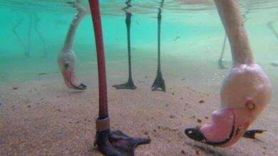 Photo of Így esznek a flamingók a különös alakú, görbe csőrükkel