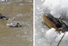 Photo of Jégbe fagytak Oklahoma aligátorai