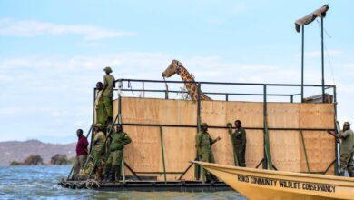 Photo of Hajóval mentettek ritka zsiráfokat egy süllyedő kenyai szigetről