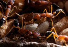 Photo of Összezsugorítja, majd visszanöveszti az agyát egy hangyafaj