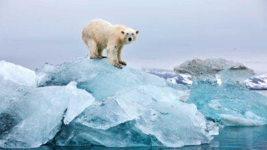 Photo of Erősen olvad az Északi-sarkon a jegesmedvék utolsó menedéke is