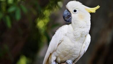 Photo of Egymást tanítják kukafosztogatásra a sárgabóbitás kakaduk Ausztráliában