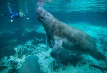 Photo of Példátlan tempóban pusztulnak a jámbor tengeri tehenek