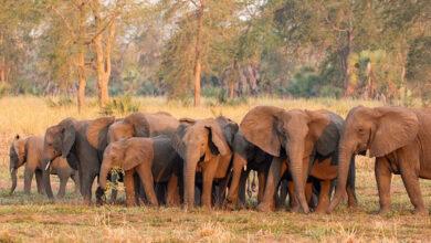 Photo of Agyar nélküli elefántok kifejlődéséhez vezetett az orvvadászat