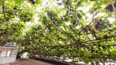 Photo of A világ egyik legnagyobb és legrégebbi szőlőtőkéje