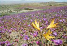 Photo of Virágba borult a világ legszárazabb sivatagának egy része – videó