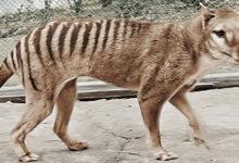 Photo of Színes, felújított felvételen kelt újra életre az 1936-ban kihalt tasmán tigris