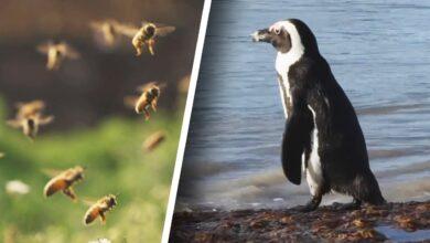 Photo of Méhek öltek meg 63 veszélyeztetett pingvint Dél-Afrikában