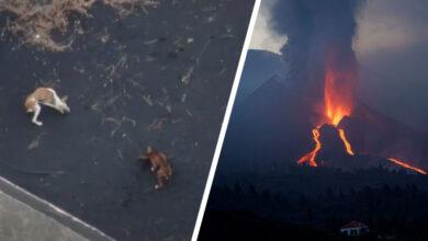 Photo of Drónokról etetik a hátrahagyott kutyákat a vulkánkitörés által sújtott La Palma szigetén